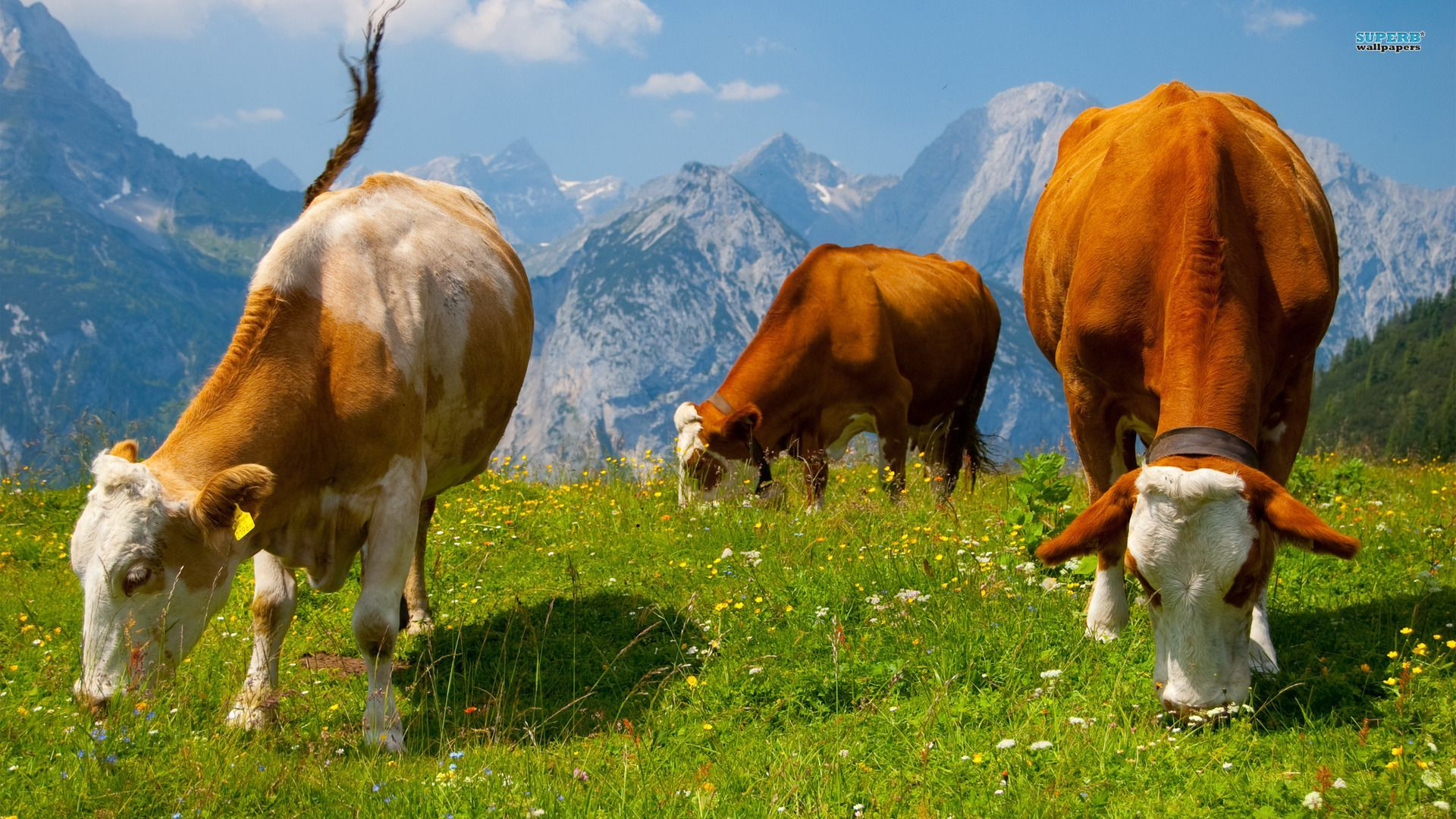 Hd Cows In The Alps Computer Wallpaper Animal Wallpaper Animals Cow Wallpaper