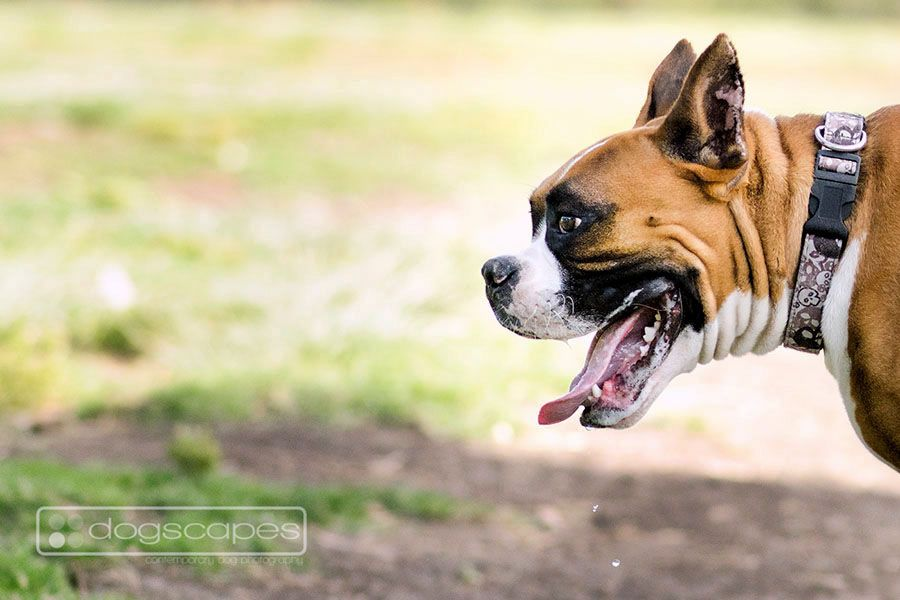 Another Image From A Session At Morley Field Dog Park San Diego Boxer Boxers Dogs Photography Dog Photography Modern Dog Pet Photographer