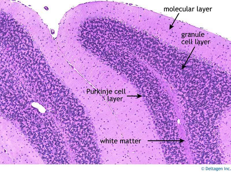 NERVOUS TISSUE- CEREBELLUM (With images) | Medical ...