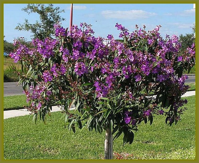Princess Flower Tree Tibouchina Granulosa Purple Plant
