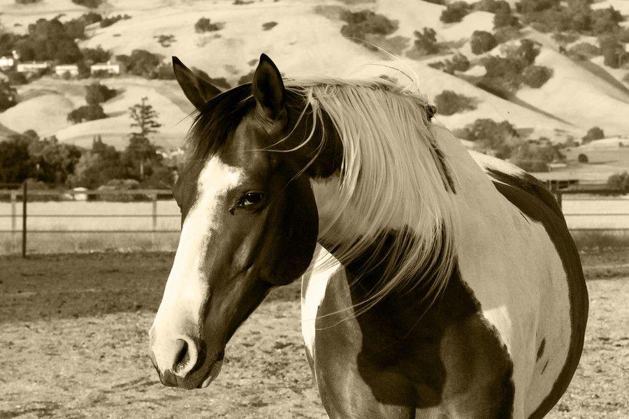American Paint Horse western quarter paint horse paint pinto horse ...