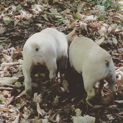 What what Frenchie butts. #frenchbulldog #frenchies #frenchbulldogs #frenchbulldogpuppiesofinstagram