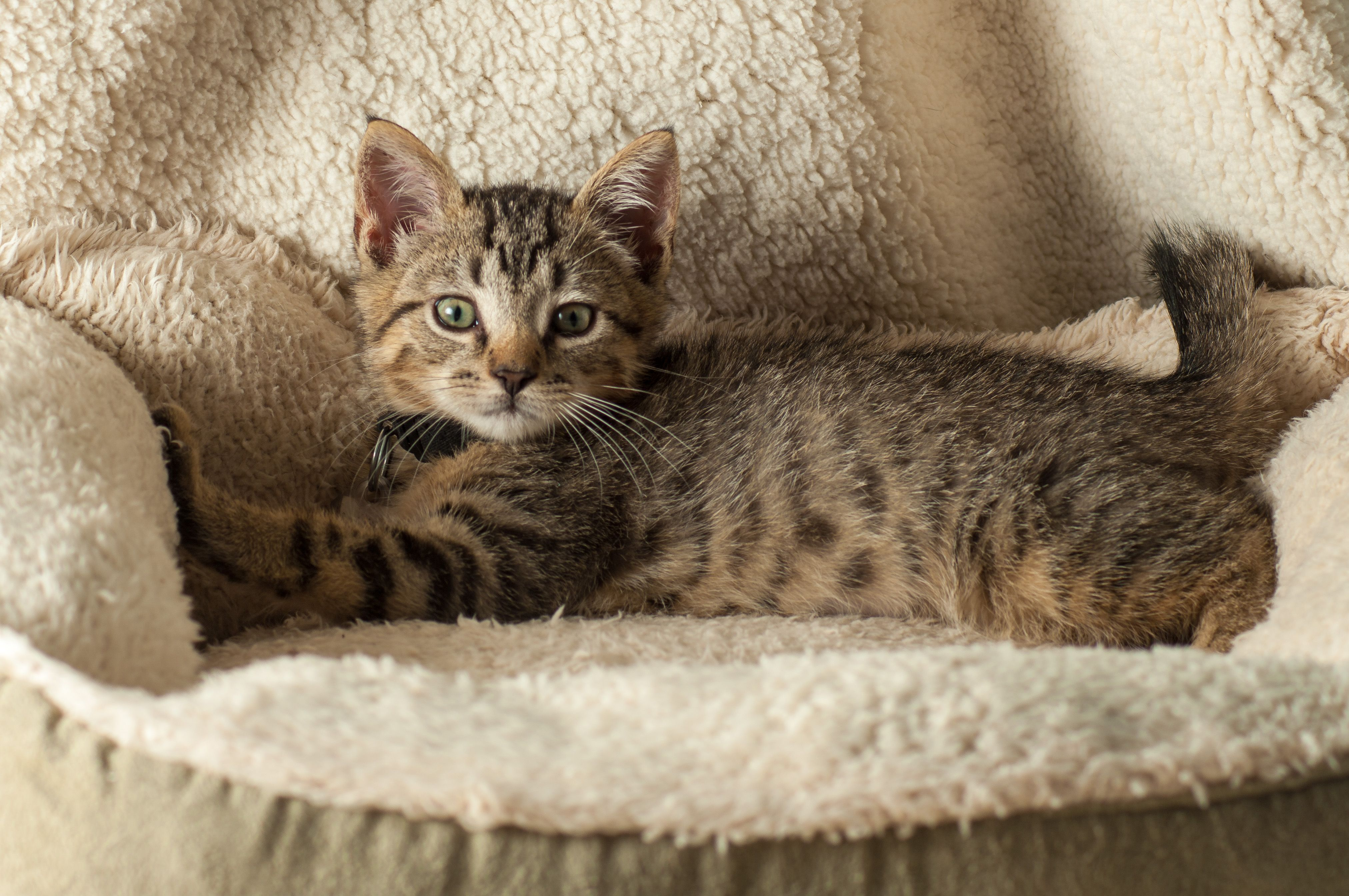 Adopted! Charles! 2 month old kitten! 2 month olds
