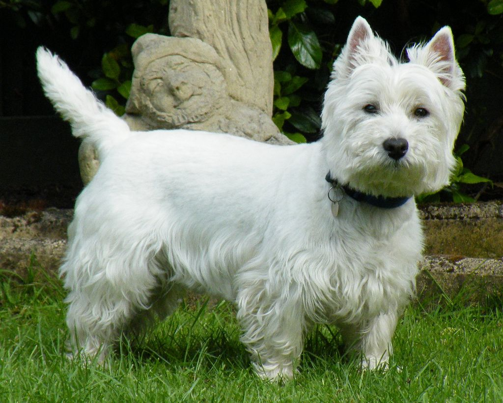 West Highland White Terriers are suitable for men and women in towns and cities also as within the nation.