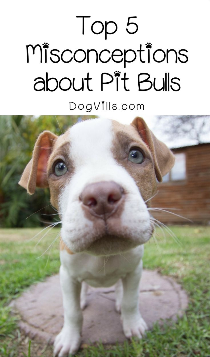 Pitties get a bad rap in so many ways, but these are the five biggest misconceptions about pit bulls. Check them out and help educate others about the breed!