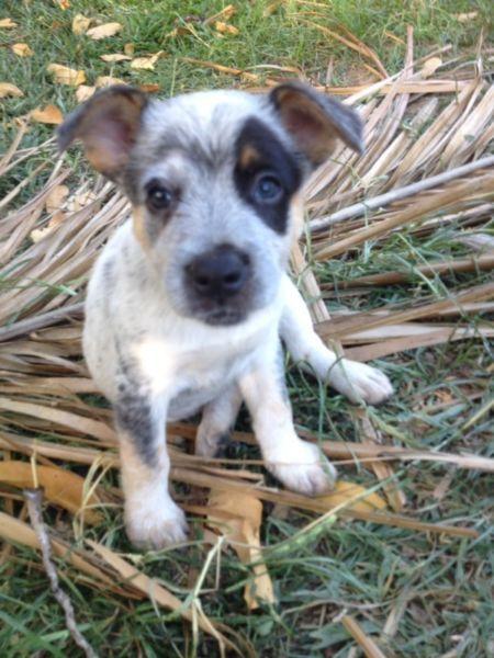 Smithfield Dog Photo Smithfield Stumpy Dogs Puppies Gumtree Australia Townsville Smithfield Dog Dog Photos Animal Magic
