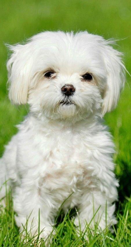 30 Beloved Dog Breeds That Don T Shed Maltese Dogs Dog Breeds