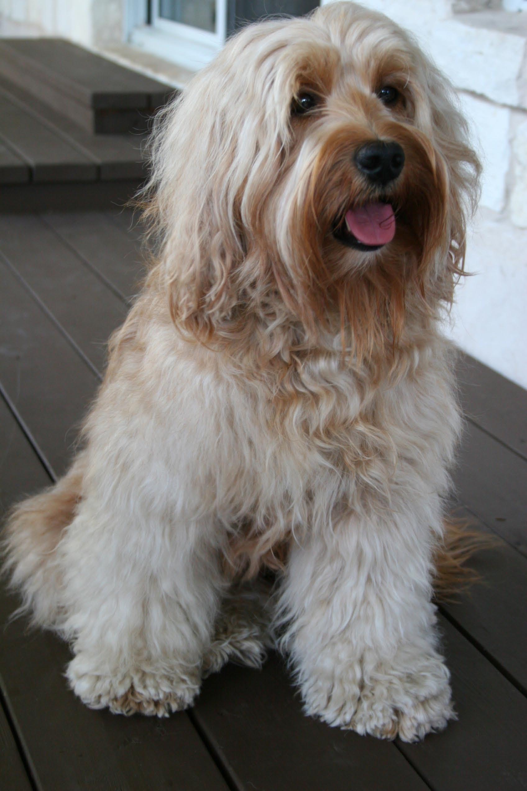 Toy aussie puppies for sale 500 texas