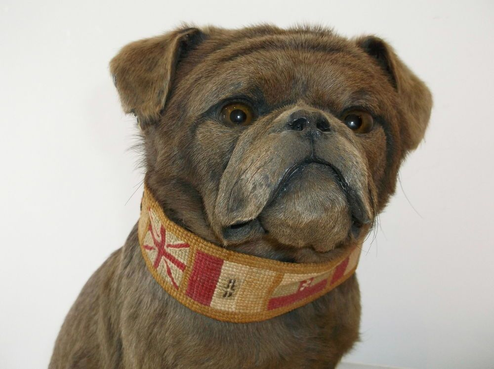 Antique Victorian Chocolate Brown Pug Taxidermy Dog Mounted