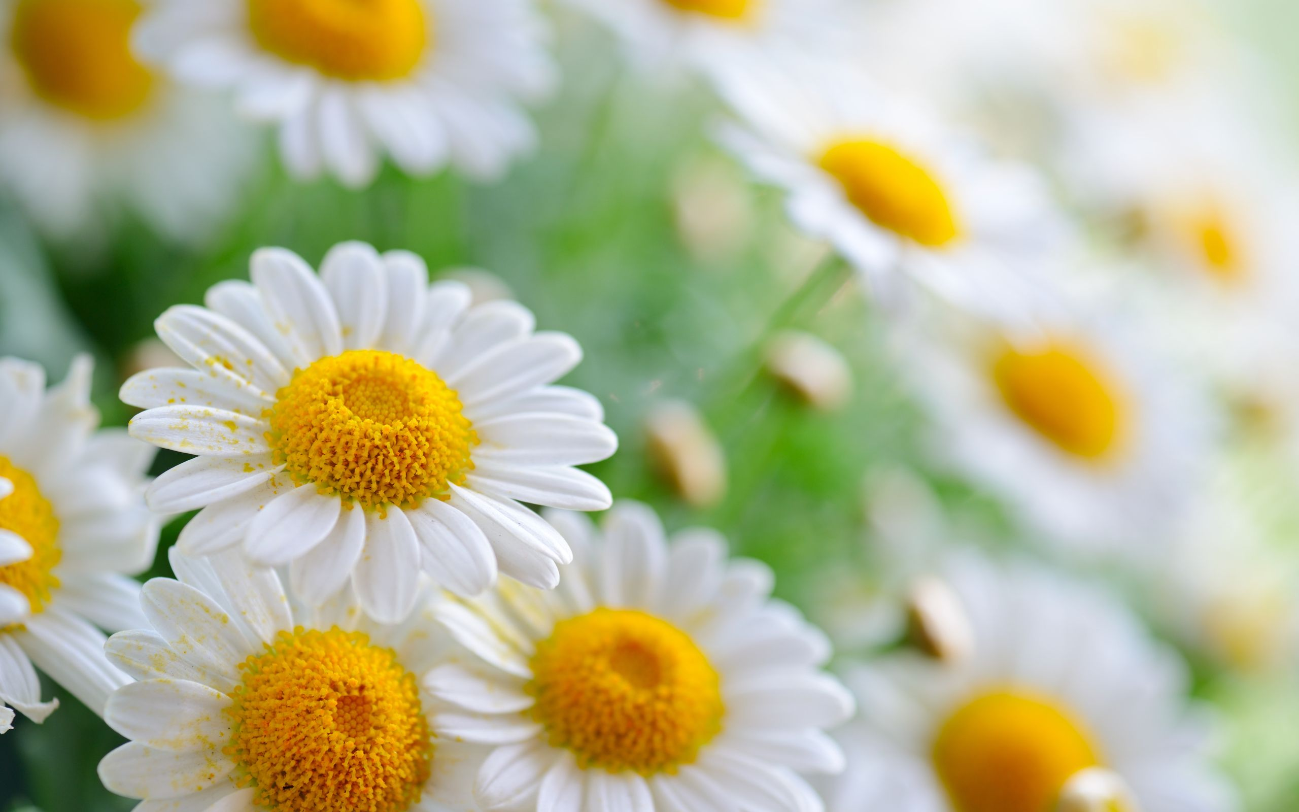 Daisy wallpapers group with items wallpapers 4k pinterest daisy wallpapers group with items izmirmasajfo
