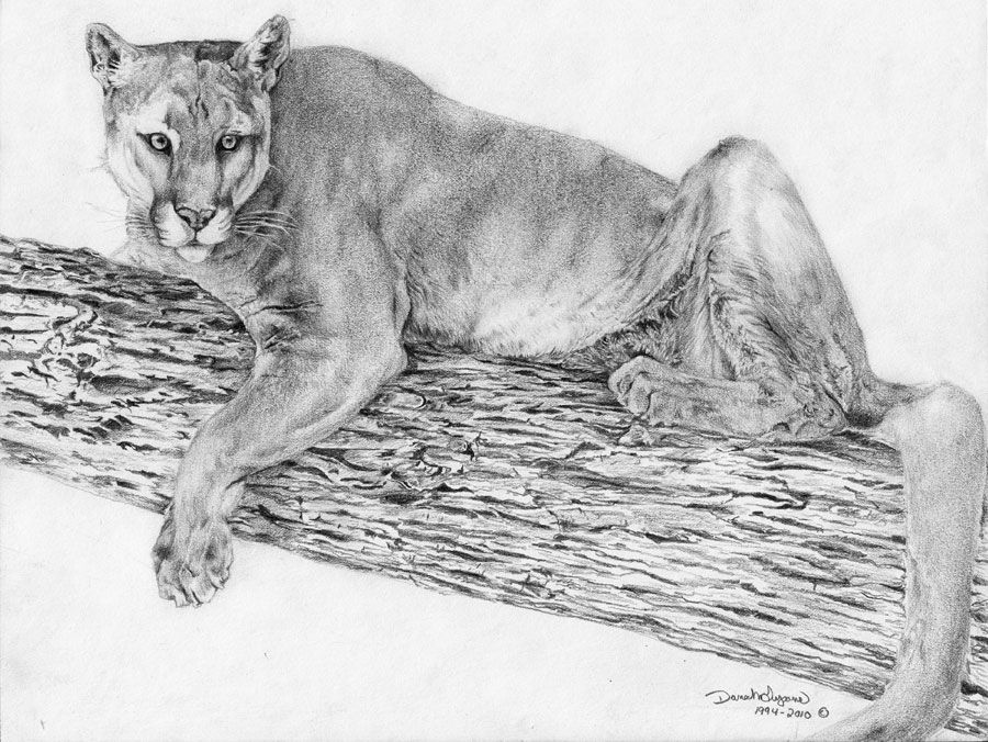 Mountain Lion Drawings Animal Drawings Mountain Lion Mountain Drawing