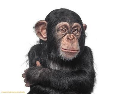 funny chimp fuzzy critters pinterest primate and animal