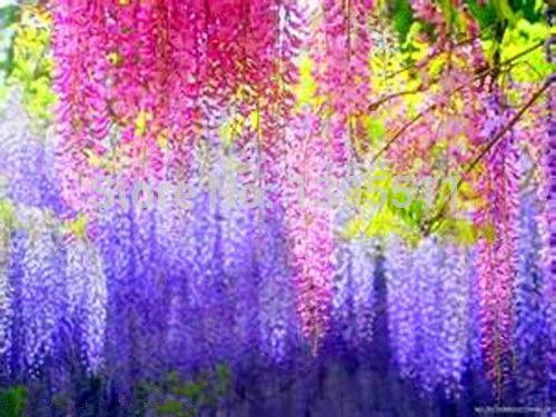 5 unids bolsa wisteria semillas de flores macetas - Jardineras de colores ...