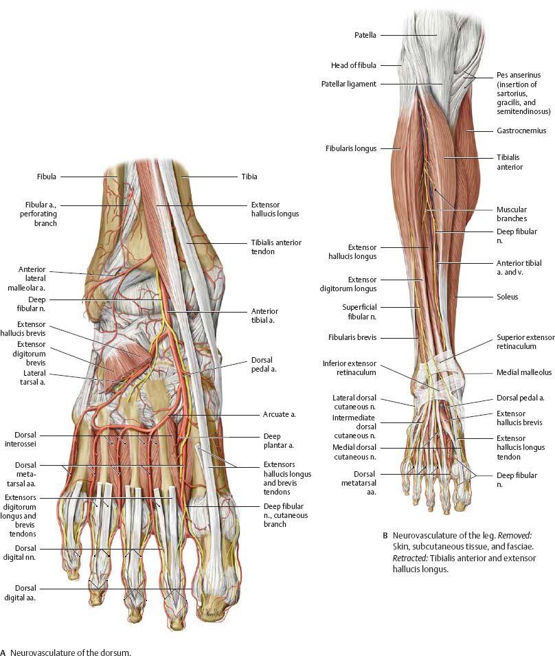 Pin de Juanjose Figueroa Giraldo en Knowledge | Pinterest | Anatomía ...