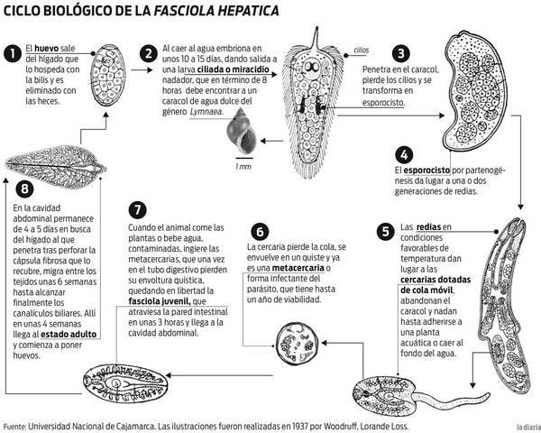 Resultado de imagen para control de la fasciola hepatica