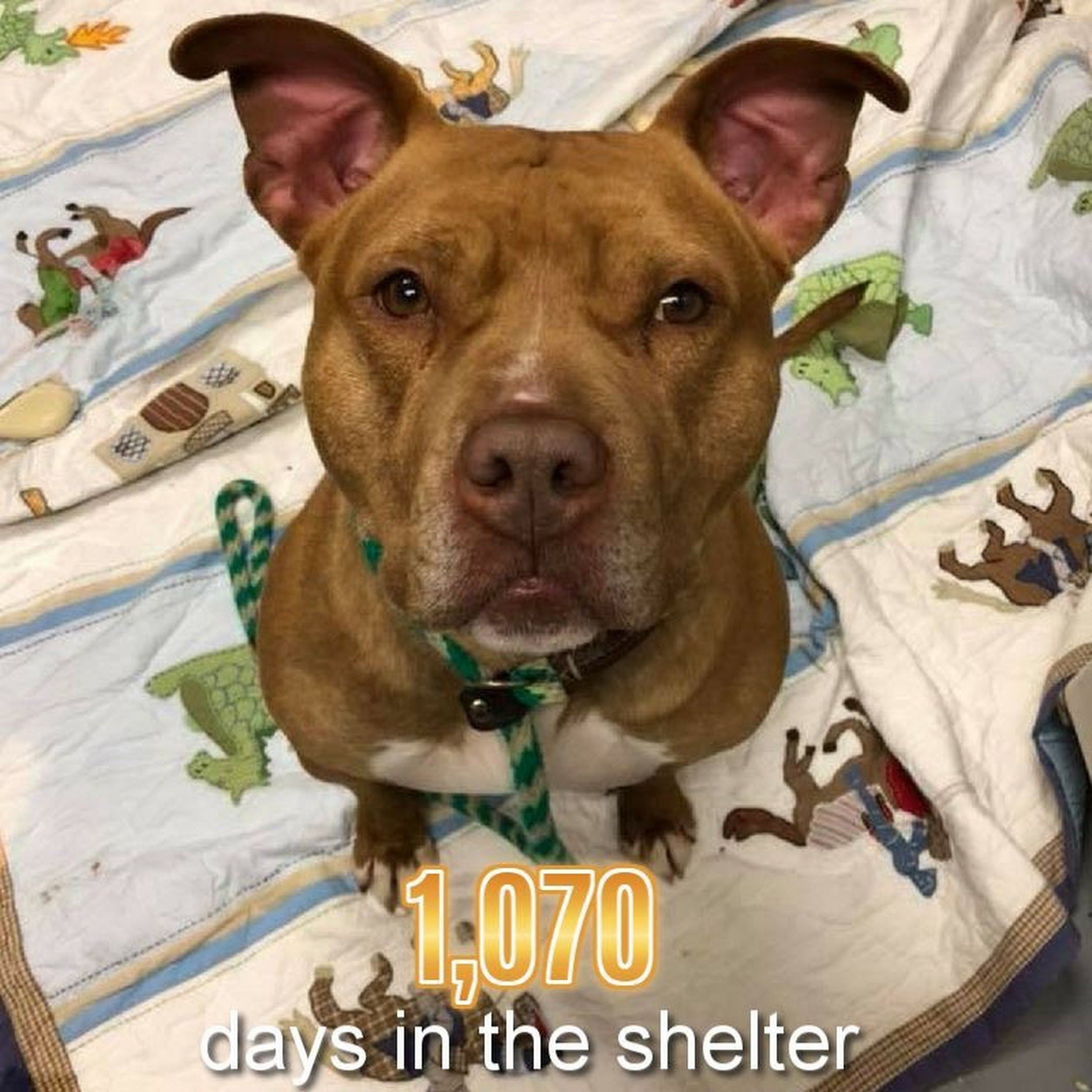 1,070 DAYS IN THE SHELTER 😓 Trooper is available at