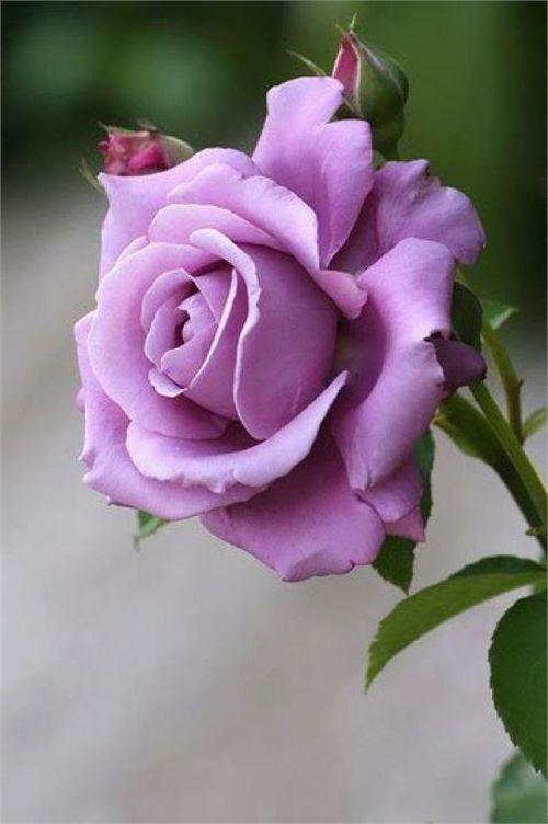 Lavender Rose Bonito Dia Fleurs Rosier Lilas