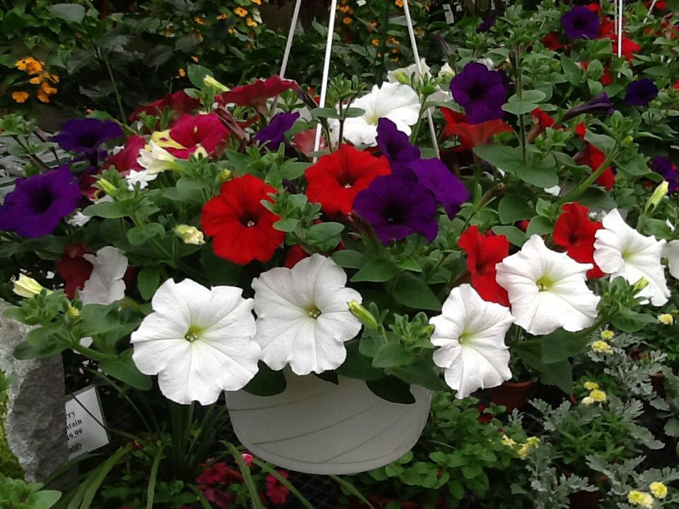 Red White And Blue Wave Petunias Wave Petunias Petunias Blue Waves