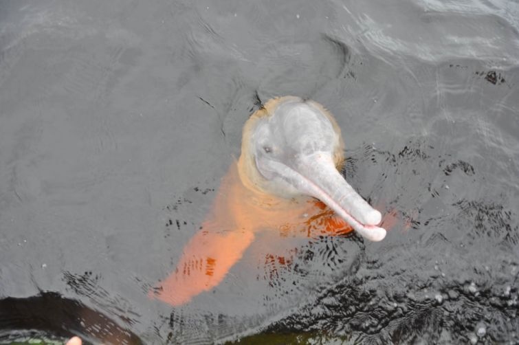 Boto Cor de Rosa espera por um pedaço de peixe, em Novo Airão - AM