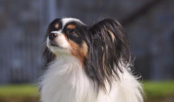 Ezzee – 5 year old male Papillon dog for adoption