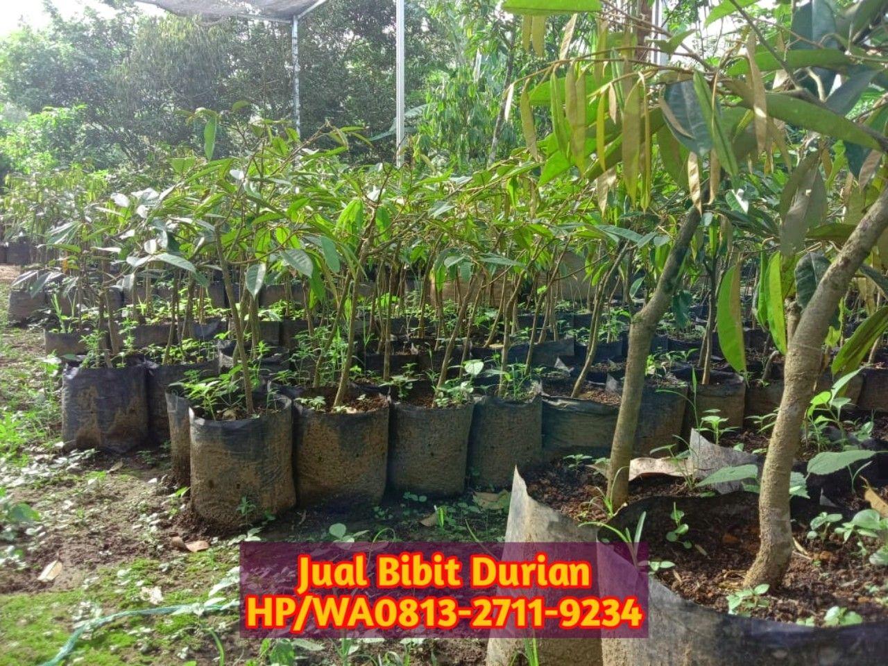 Kebun Durian Di Lampung