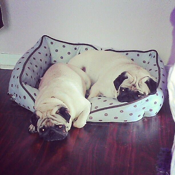#pug : I will figure this #bed thing out sooner or later.