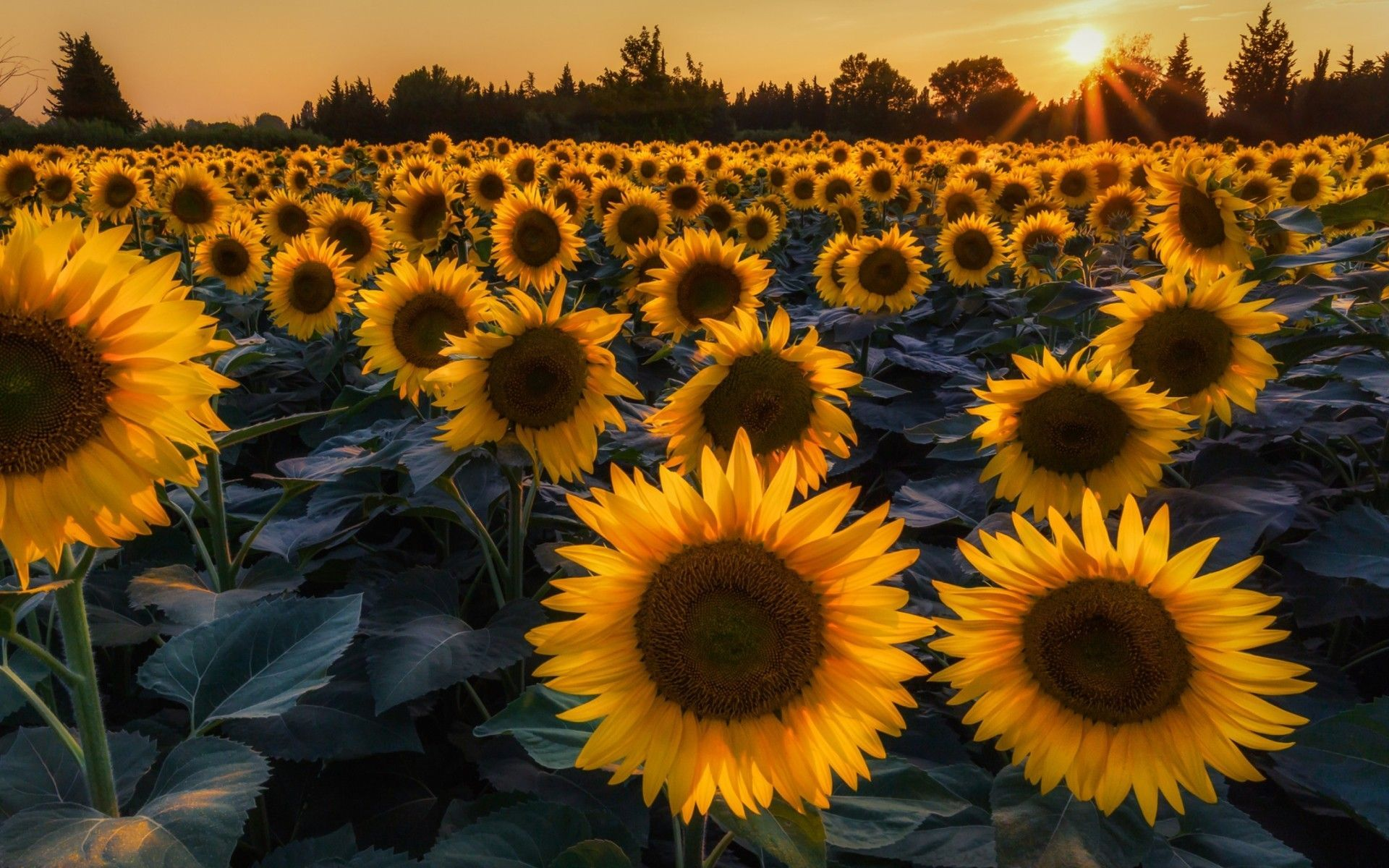 45+ Sunflower Large High Res Wallpapers - Download at ...
