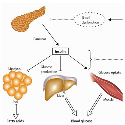 The Functions of Insulin and Insulin Sensitivity