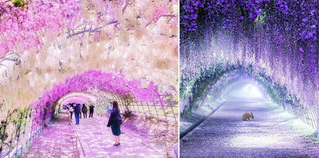 Wisteria Tree Tunnels In Japan Look Like Something From A Fairy Tale Wisteria Tree Tree Tunnel Wisteria