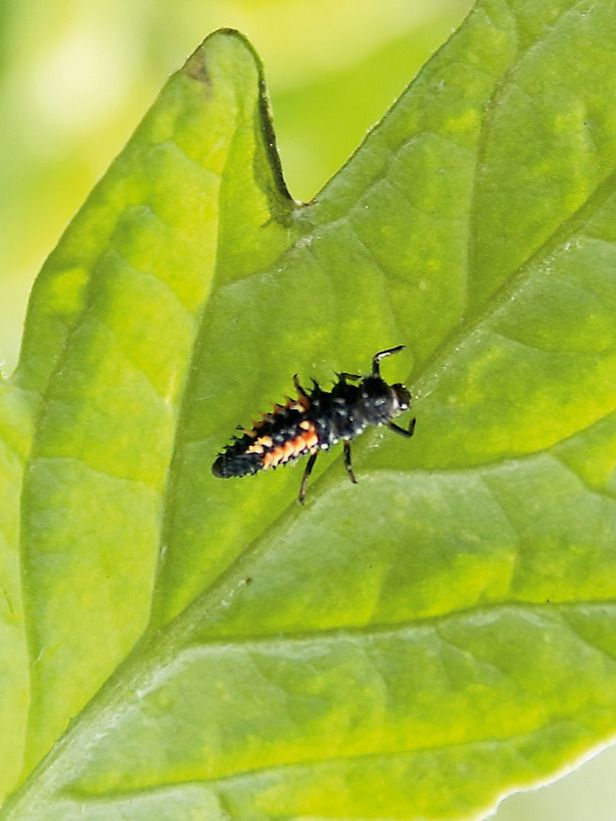 Natures Garden Helpers: The adult ladybug is well known, but the lesser known and less appealing larvae enjoy nothing better than feasting on a juicy aphid.