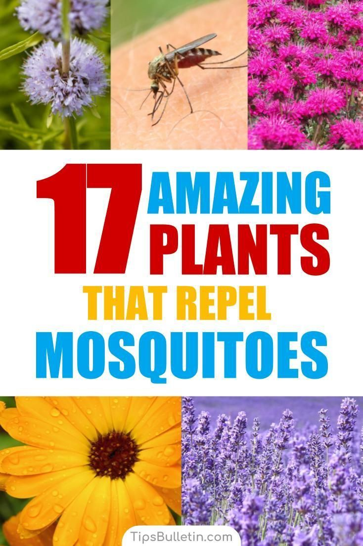 17 Amazing Plants that Repel Mosquitoes Fast #mosquitoplants