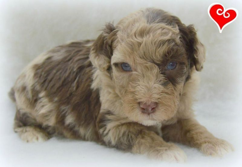 Kijiji ACHC REG'D MINI AUSSIEDOODLE ADORABLE PUPPIES