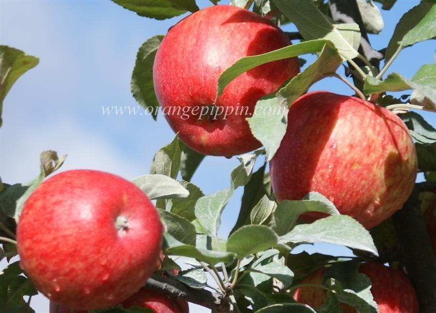 Honeycrisp Honeycrisp Apples Apple Tree Honeycrisp Apple Tree