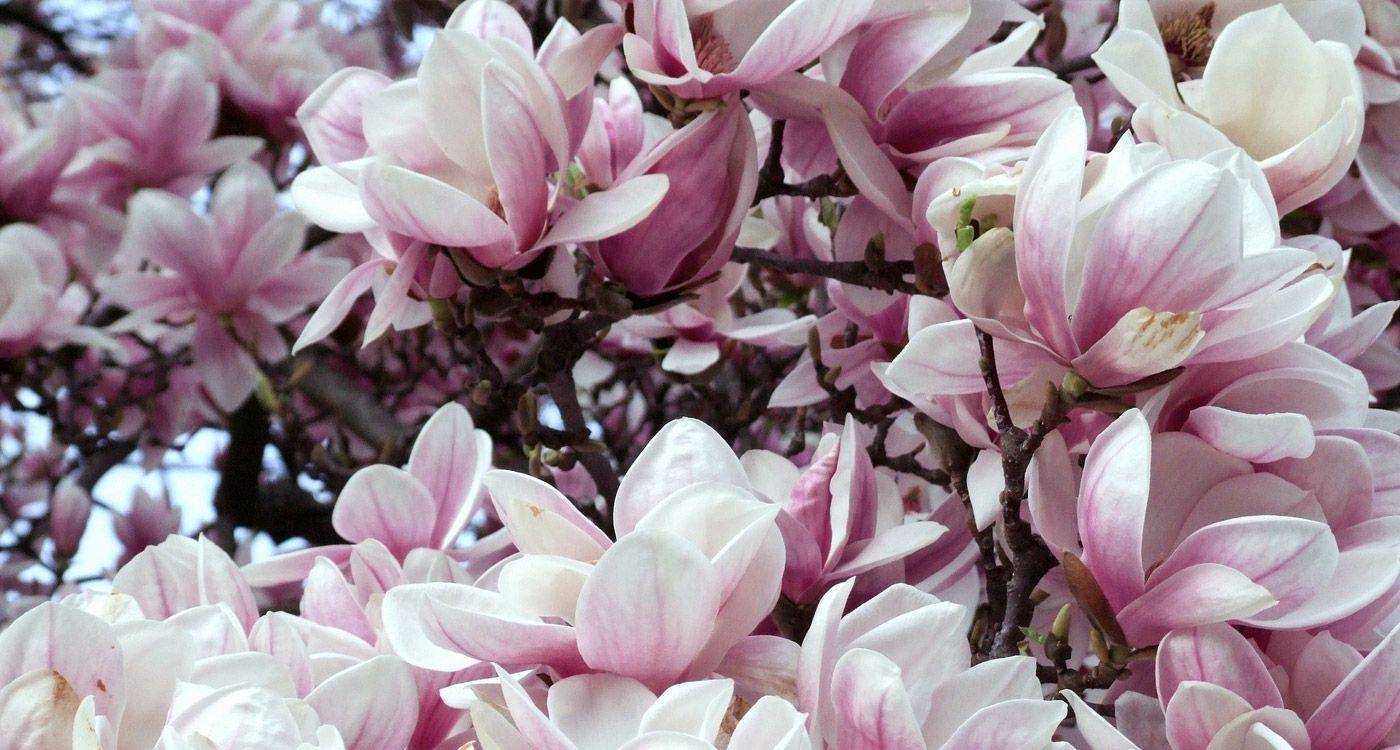 Louisiana State Flower The Magnolia Plants Magnolia Louisiana