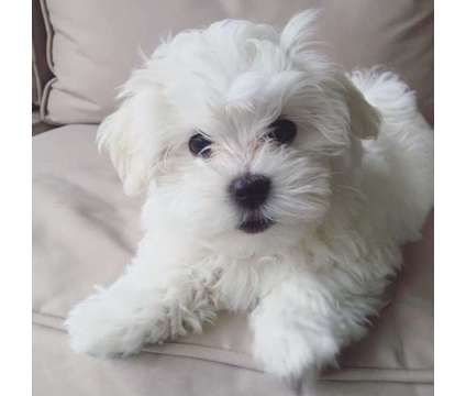Uytfv Cute Looking Maltese Puppies Ready To Go Text Or Call X 681 X321 X0225 Is A Female Maltese For Sale In San Maltese Puppy Havanese Teacup Puppies Maltese