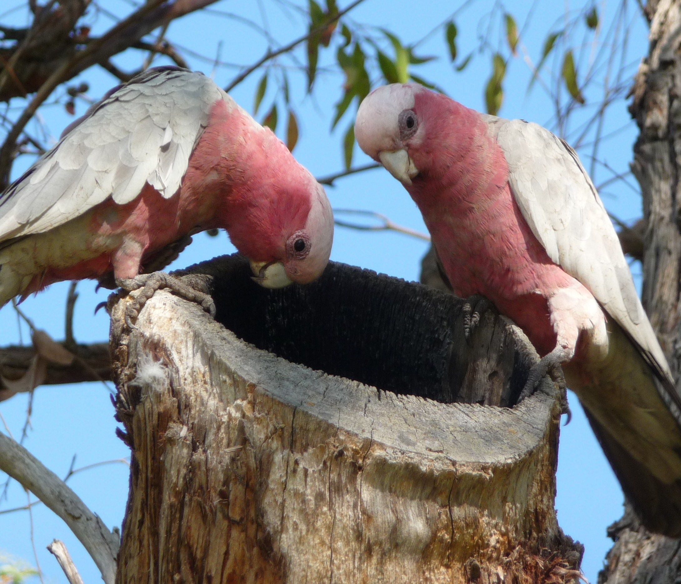 The Australian galah is common in the cities as well as