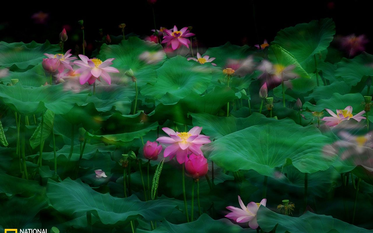 Photography Lotus Flower Wallpapers Free Download Wallpapers