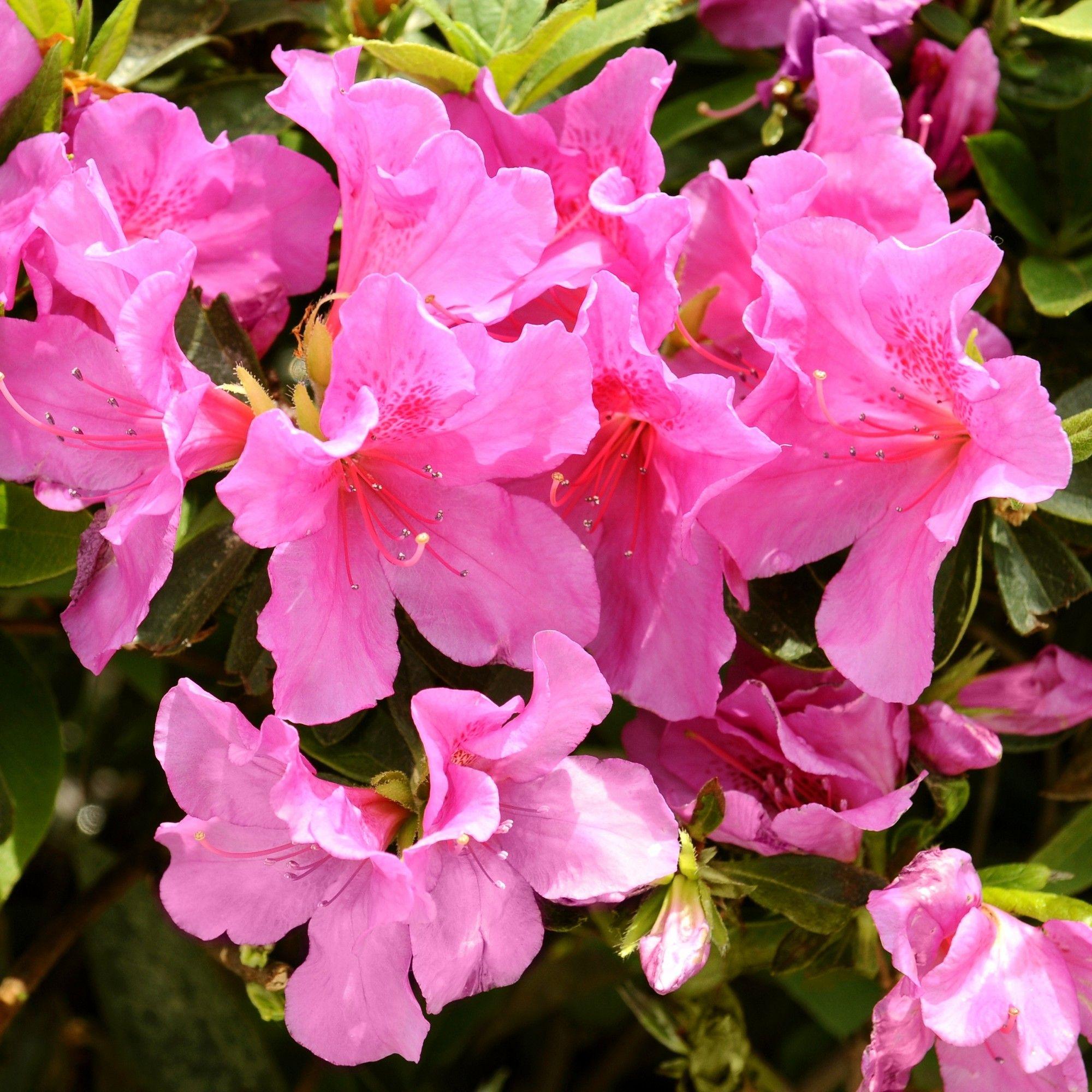 Azalea Pride Of Mobile 2 5qt U S D A Hardiness Zones 7 10 1pc National Plant Network Beautiful Flowers Wallpapers Beautiful Flowers Pictures Azaleas