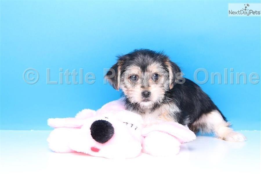 Morkie Puppies For Sale In Columbus Ohio 2021