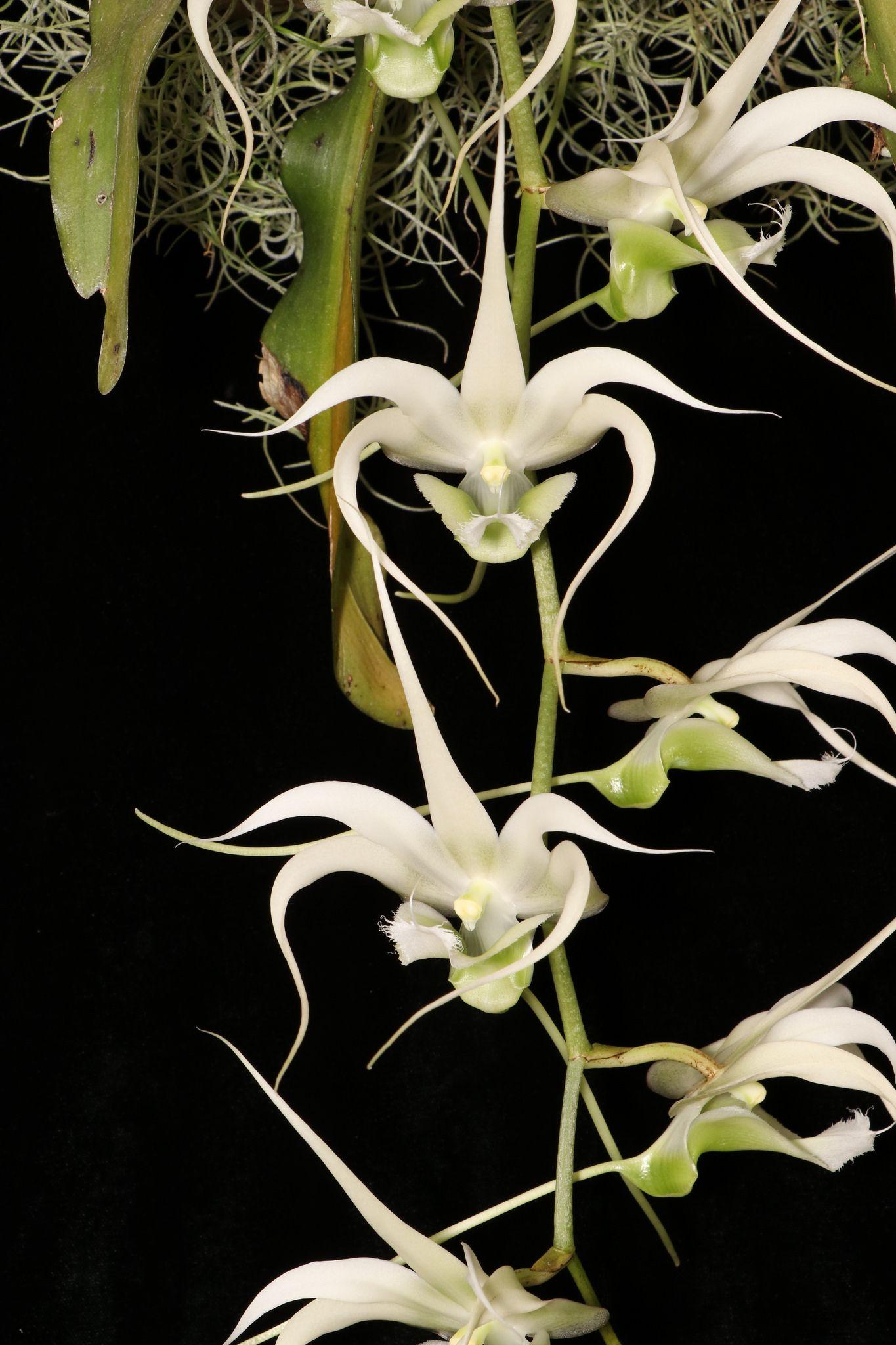 Erasanthe henrici madagascar orchid and flowers