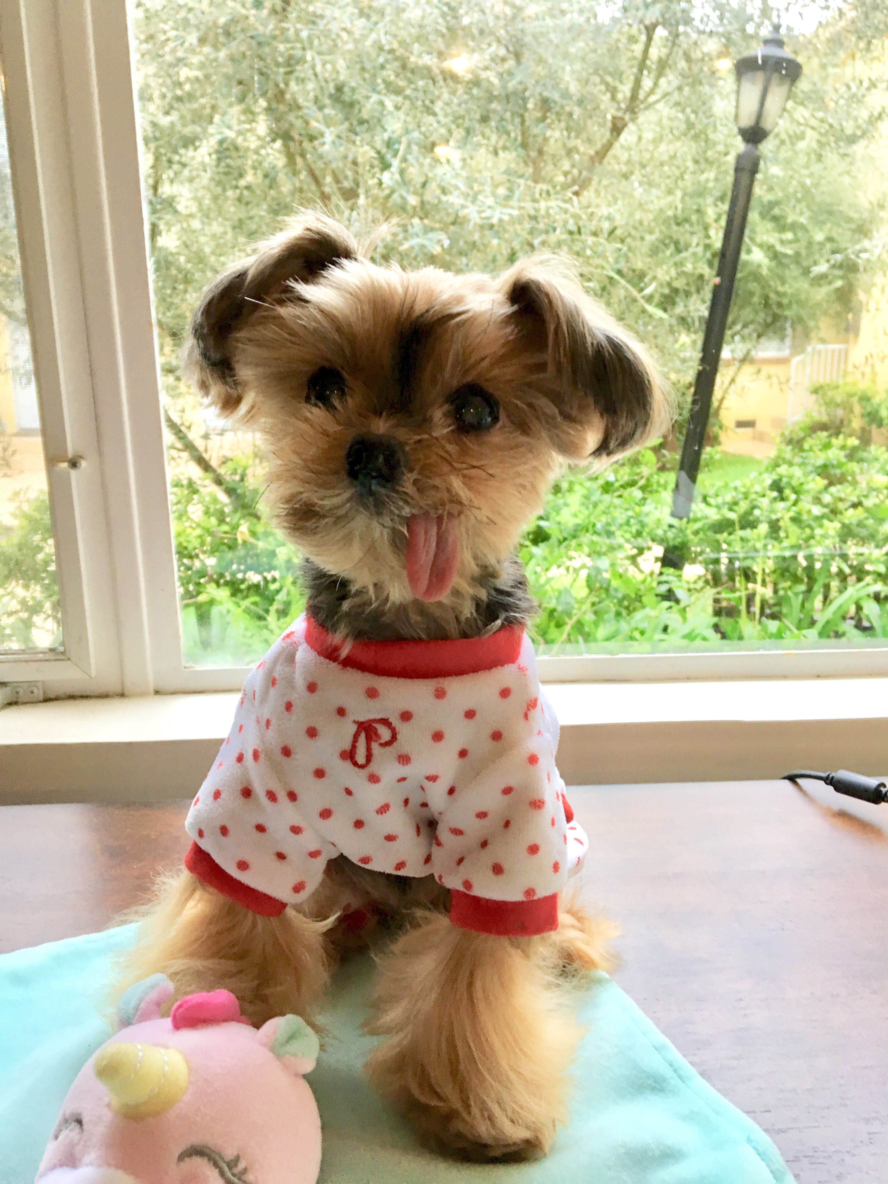 Pin By Holly Tyrrell On Yorkies With Images Yorkie