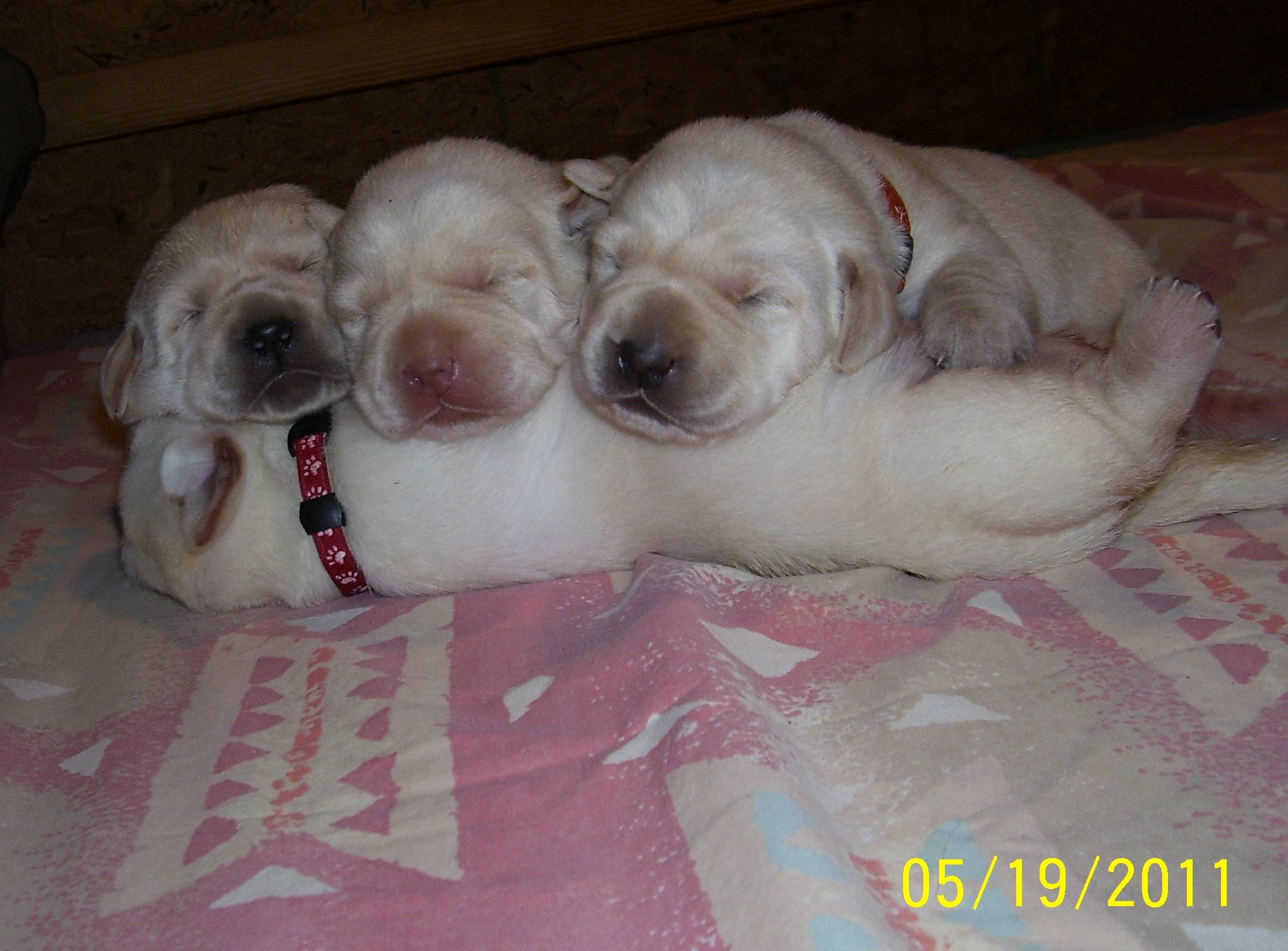 English Labrador Retriever English Labrador Retriever For Sale In Michigan English Labrador Labrador Animals