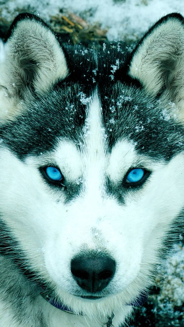 Siberian Husky Iphone Wallpaper Puppy Wallpaper Iphone Puppy