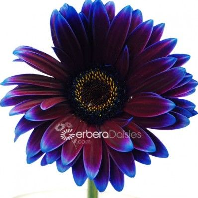 Gerbera Daisies Comes In Almost Every Imaginable Flower Color And