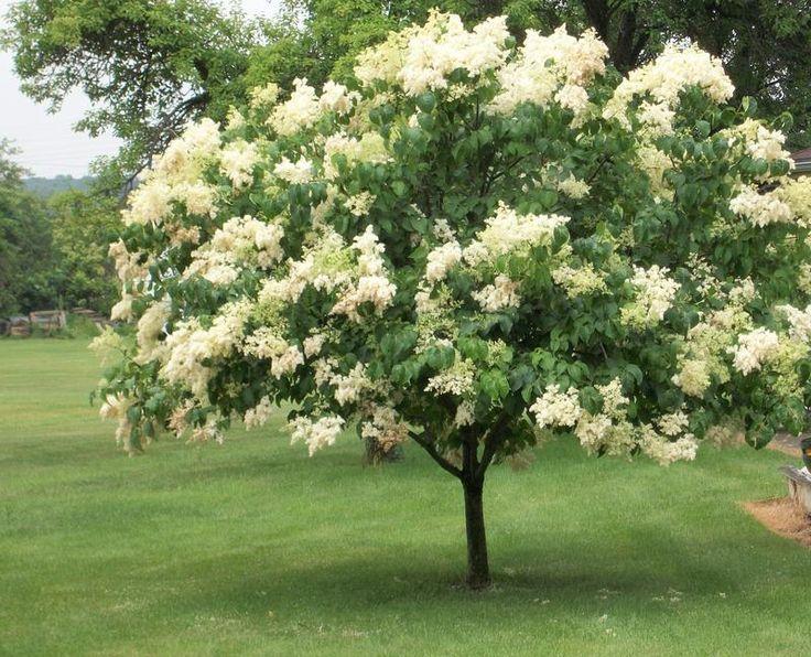 Syringa Reticulata Ivory Silk Japanese Lilac Tree Lilac Tree Japanese Tree Japanese Lilac