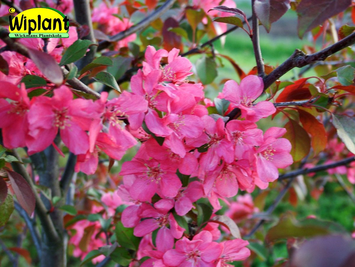Malus 'Rixi', prydnadsäppel. FinE-sort. Mycket rikligt med halvdubbla ljusröda blommor. Höjd: 2- m.
