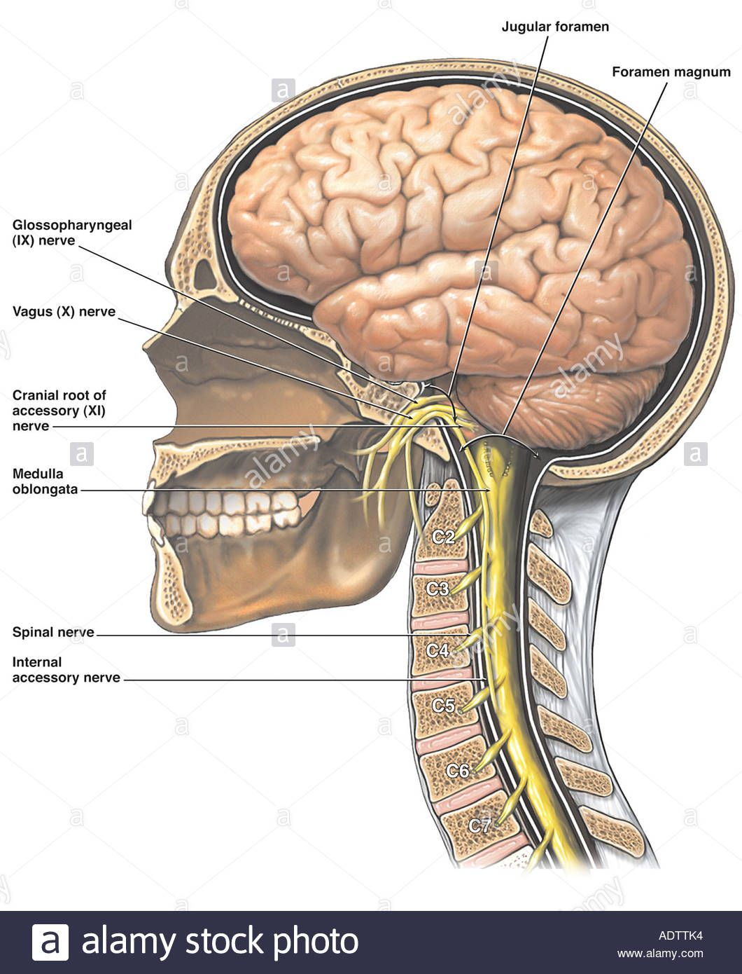 Pin by Stacey Putman on Human Body   Cranial nerves ...