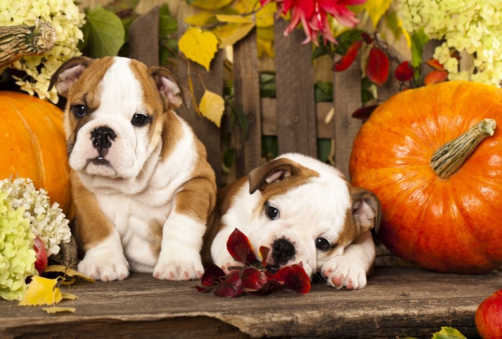 English Bulldog Puppies jigsaw puzzle in Puzzle of the Day
