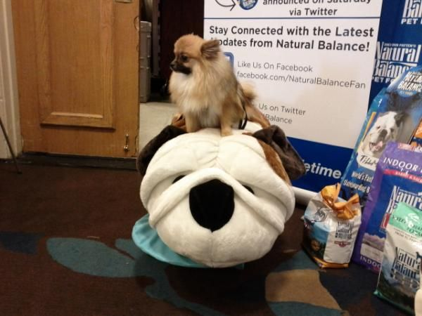 @cinnybbs sits on top of the giant Tillman plush. I pinned it on my #BlogPaws #Pinterest board