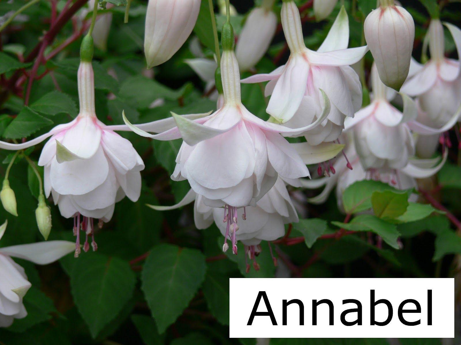 Fuchsia Annabel Garden Backyard Pinterest Flowers Garden
